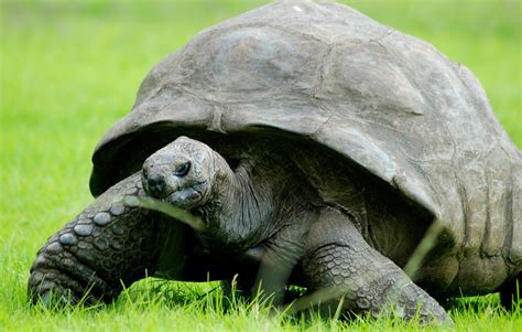 healthy diet helps  year  tortoise feel young