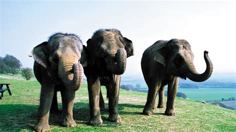 elephant hd background zoo zsl whipsnade elephants backgrounds wallpapers wallsdesk