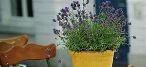 Lavendel Pflanzen Balkon : lavendel pflanzen dr schweikart ~ Lizthompson.info Haus und Dekorationen
