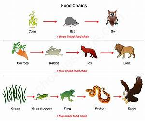 Food Chains and Food Webs   Examples of Food Chains and ...