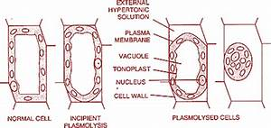 Four Basic Phenomena Permeability  Diffusion  Osmosis And Plasmolysis  Important For Ugc Net