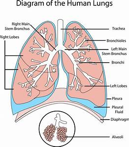 Diagrams Of Lungs Free