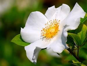 Cherokee Rose (Rosa laevigata) also known as Camellia Rose ...