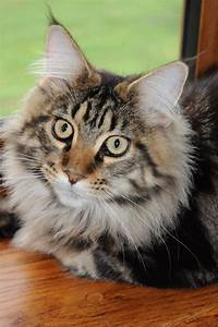 Adorable Brown Tabby Maine Coon for sale | York, North ...