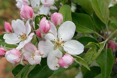 Apple Blossom Wallpapers
