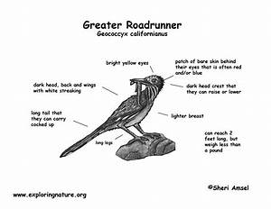 Roadrunner  Greater