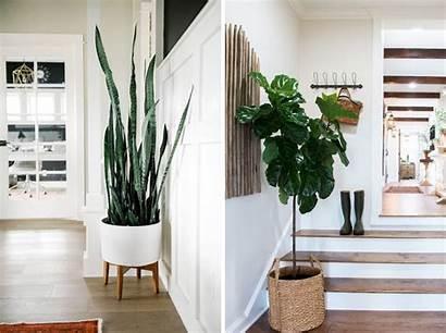 Plants Indoor Fixer Upper Magnolia Fig Joanna