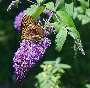 Butterfly Bush  How To Plant  Grow  And Care For Buddleia