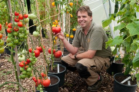 how to grow tomato at home growing tomatoes out of my shed