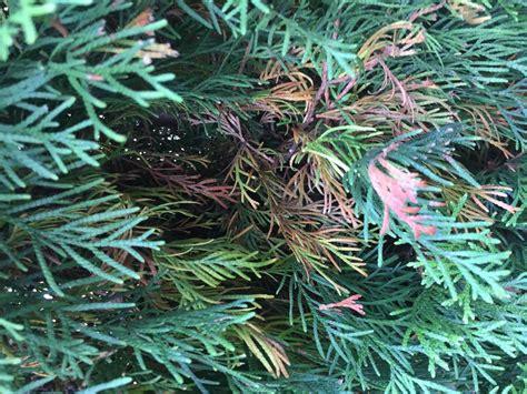 thujen werden braun smaragd thuja wird an den nadelspitzen braun pflanzenkrankheiten sch 228 dlinge green24 hilfe