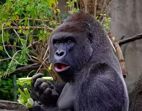 Lion Gorilla Bite Force