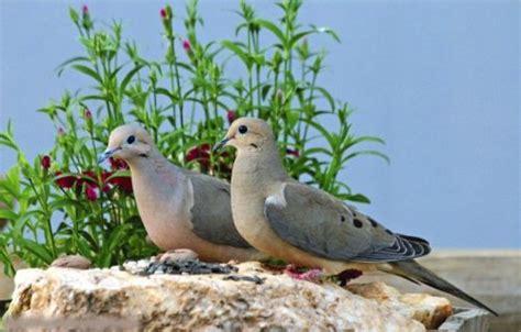 mourning dove facts anatomy diet habitat behavior