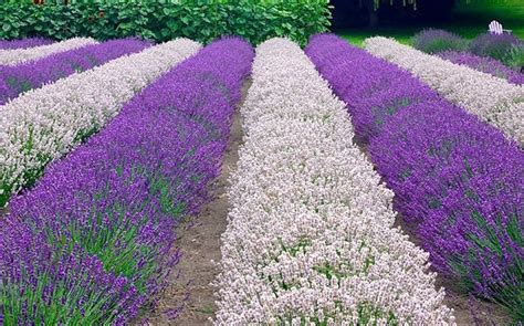 varieties of lavender plants lovely lavender 10 of the top varieties to grow lavender gardens and horticulture