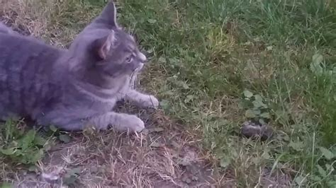 cute young cat kills  eats  mouse youtube