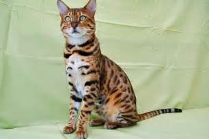bengal cat breeders bengal cat breed profile uk cat breeders