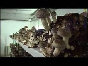 Austernpilze Selber Züchten : shiitake pilzzucht pilzanbau mushroom growing doovi ~ Orissabook.com Haus und Dekorationen
