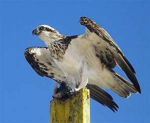 Eastern osprey - Wikipedia