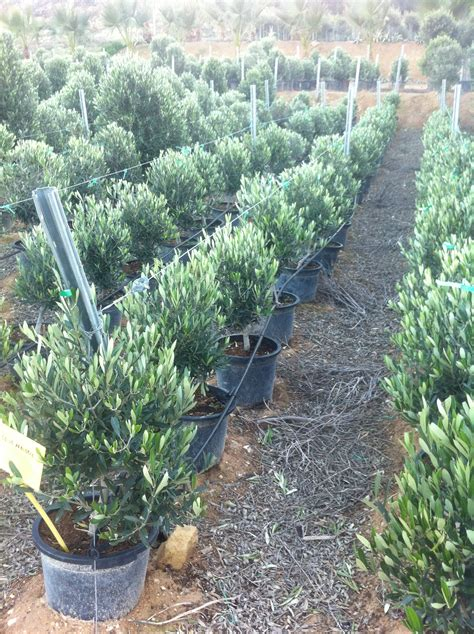 cost of olive trees olive trees shrub from palm farm