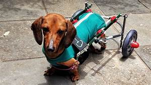 Paralysis In Dogs  Symptoms  Causes   U0026 Treatments