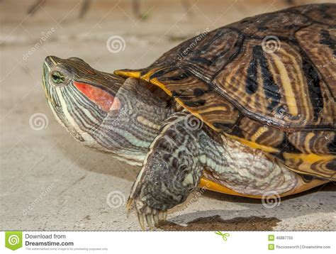 aquarium tortue d eau douce tortue d eau douce photo stock image 46887755