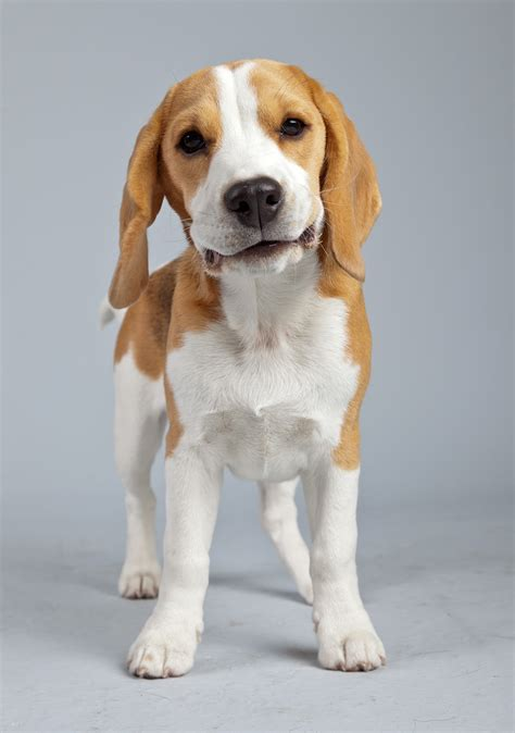 photo beagle  dog pictures fur eye