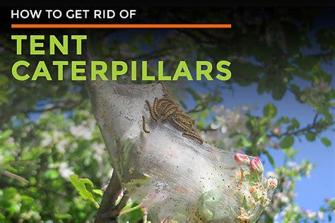 tent caterpillar facts control   tent