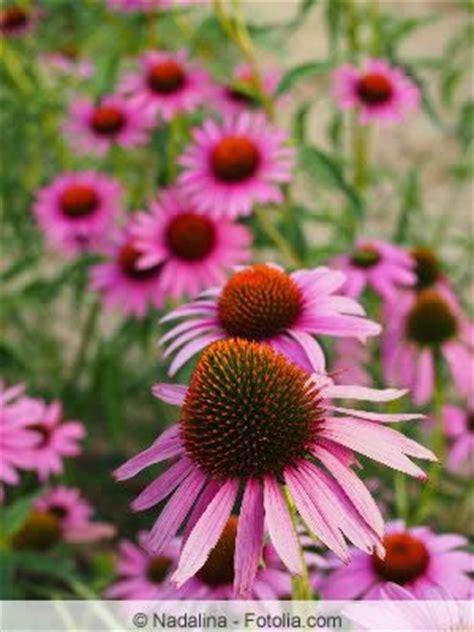 Sommerblumen Mehrjährig Winterhart by Sch 246 Ne Blumenstauden Einj 228 Hrige Und Winterharte