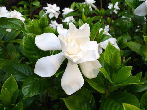 fragrant houseplants fragrant houseplants for a nice smelling home simplemost