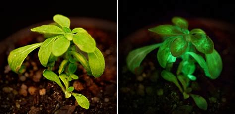Pflanzen Die Im Dunkeln Leuchten by Die Erste Genetisch Ver 228 Nderte Pflanze Die Im Dunkeln