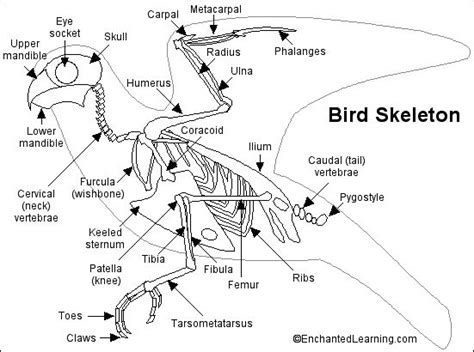 bird skeleton printout bird bones are hollow if can have