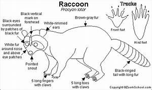 Raccoon Printout