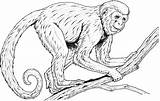 Monkey Coloring Pages Realistic Monkeys Printable Baboon Colouring Clipart Rainforest Drawing Adults Line Howler Spider Faced Guenon Primates Primate Drawings sketch template