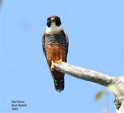 bat falcon falco rufigularis wiki image