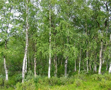 types of birch trees british trees identification picture quiz of alder holly beech