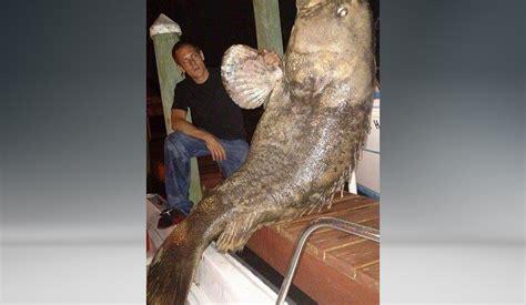 grouper goliath found canal lb dead florida firstcoastnews coral cape