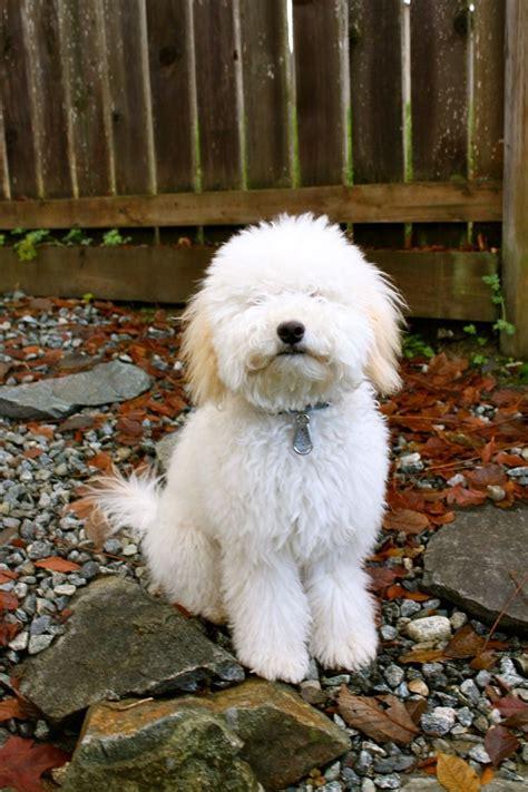 Whoodle Wheaten Terrier Poodle Mix Temperament Math Wallpaper Golden Find Free HD for Desktop [pastnedes.tk]