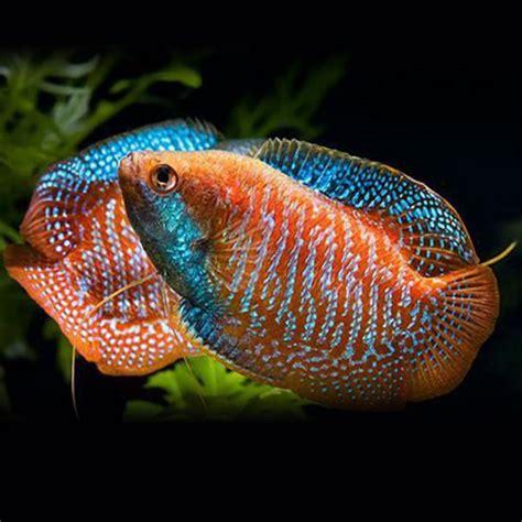 gourami fish characteristics types habitat care