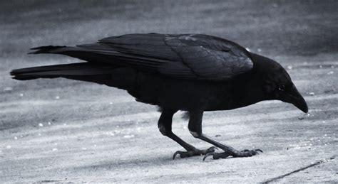 dark raven wallpaper wallpapersafari