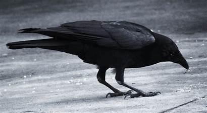 Raven Dark Wallpapers Waiting Wallpapersafari