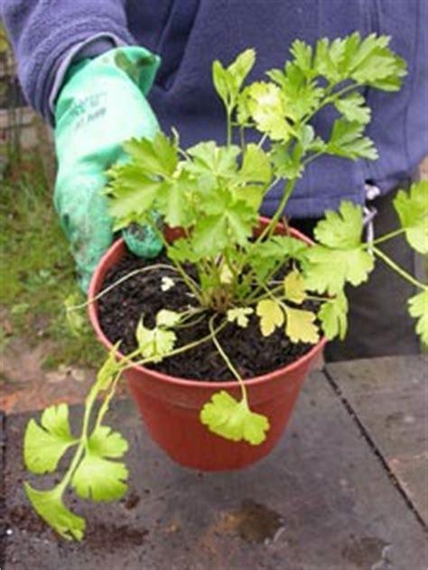 jardini 232 re d aromatiques culture en pot pour fen 234 tre ou balcon