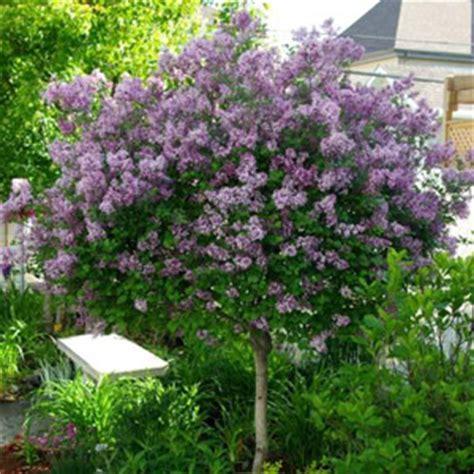 planter lilas en pot un arbre fleuri et parfum le lilas conseils de culture taille