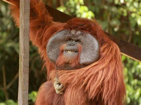 Orangutan holidays. Tours & holidays to see orangutans
