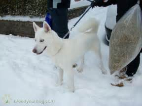 Pure White Husky with Blue Eyes