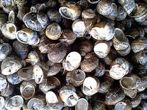 Commercial Snail Breeding Guide  The Helix Aspersa Muller