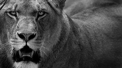 Lion Wallpapersafari Code