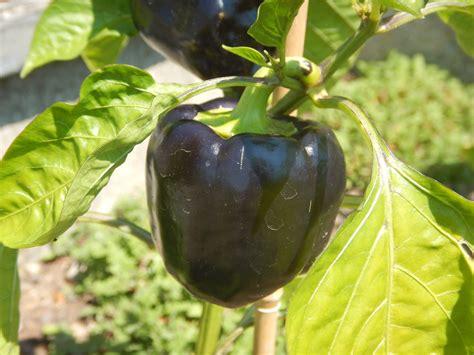 purple beauty lila paprika gemuesepaprika purple bell