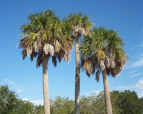 About Sabal Palmetto. Samples Of Good Cvs Template. Daycare Flyers Template Free. Sample Of Quiz Bee Certificate Template. Printable Checkbook Register Template. Downloadable Resume Templates For Word. Objective For Resume Restaurant. Sample Raffle Tickets Fundraiser Template. Meeting Notes Template Word Template
