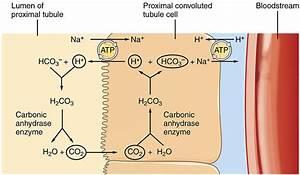 Urinary Regulation Of Acid Base Balance