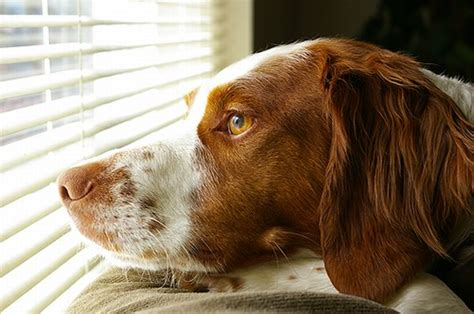 Image result for pic brittany spaniel