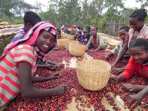 Select your preference who will enjoy ethiopian yirgacheffe the most? Ethiopia Yirgacheffe Aroma - ABC Coffee Club